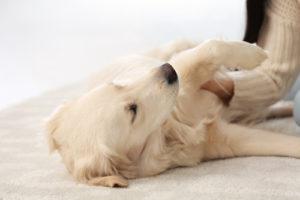 Odstránenie psích chlpov z koberca